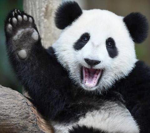 panda_02